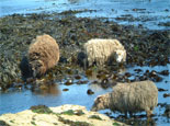 North Ronaldsay Yarn - Sheep fact